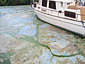 Putrid algae overtakes Florida's south coast just days before July Fourth