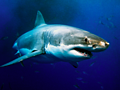 Decrease in US shark attacks following record year may be linked to fading El Nino