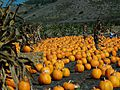 A Bumper Crop of Pumpkins?