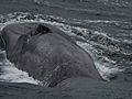 Antarctic Blue Whales Found With Sound