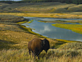 Yellowstone bison calf euthanized after tourists' attempt to 'rescue' it