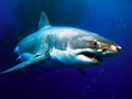 Why are shark attacks on the rise?