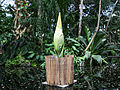 Smelly 'corpse flower' about to bloom in NYC: How to watch it live