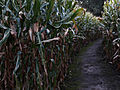 The country's creepiest haunted corn mazes
